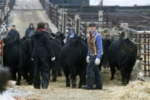 Angus Genetics Showcased at 2019 National Western Angus Carload & Pen Show