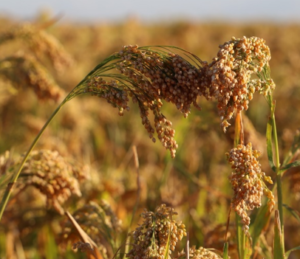 Genetic Mapping Offers New Promise for Proso Millet