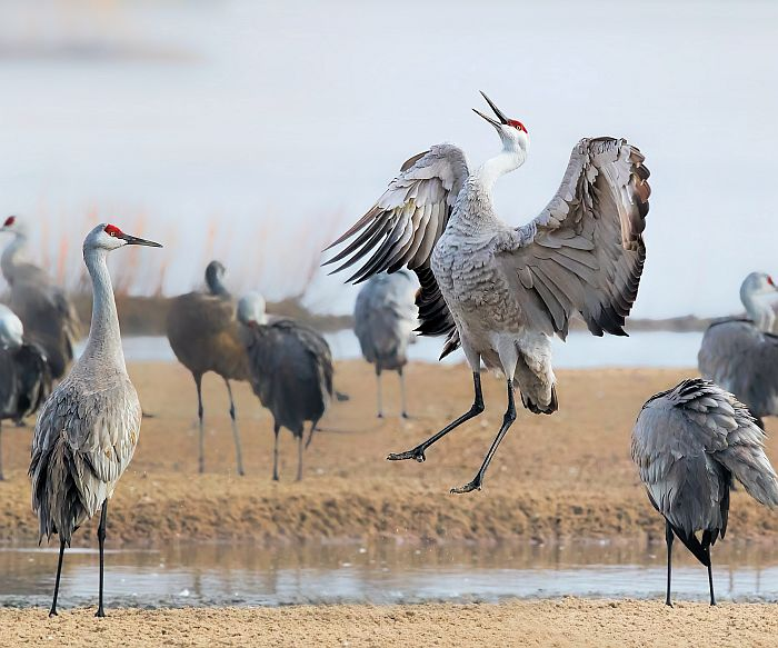 Lingering winter slows Sandhill Crane migration in Nebraska