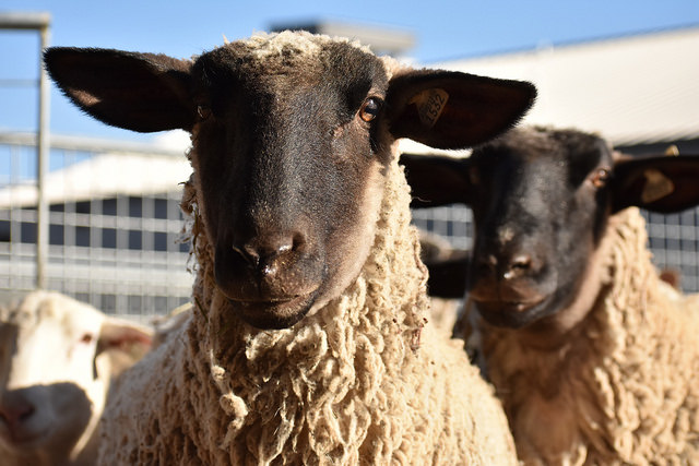 Sheep and goat program covers economics to forages