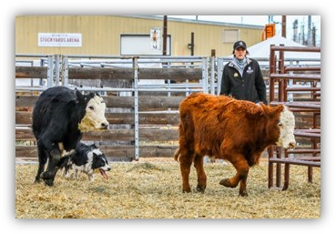 Cattle stock dog demo is Sunday in Kearney