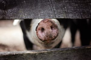 Live-Streaming Barn Tours Show Consumers Sustainable Pig Farming