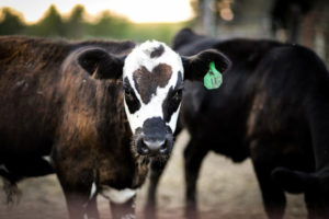 January 1 Cattle Inventory Up Slightly in the US *AUDIO w/Jerry Stowell*
