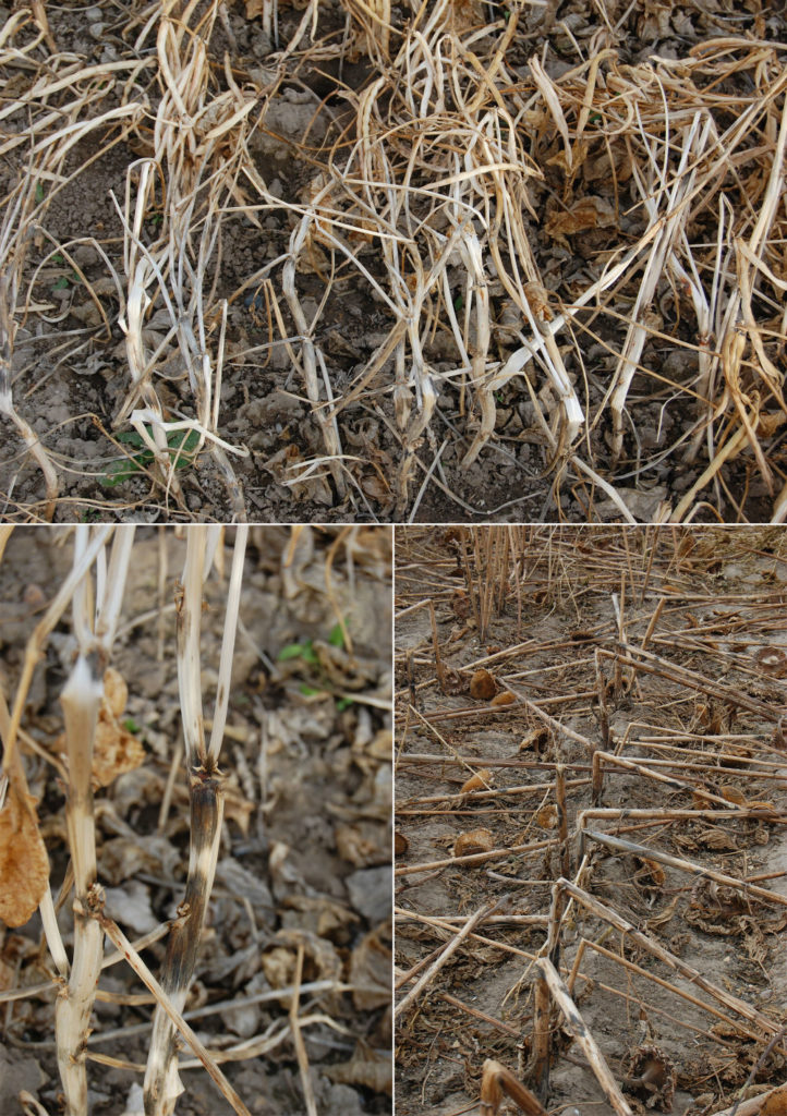 New cowpea diseases in 2018 – white mold and phomopsis stem canker