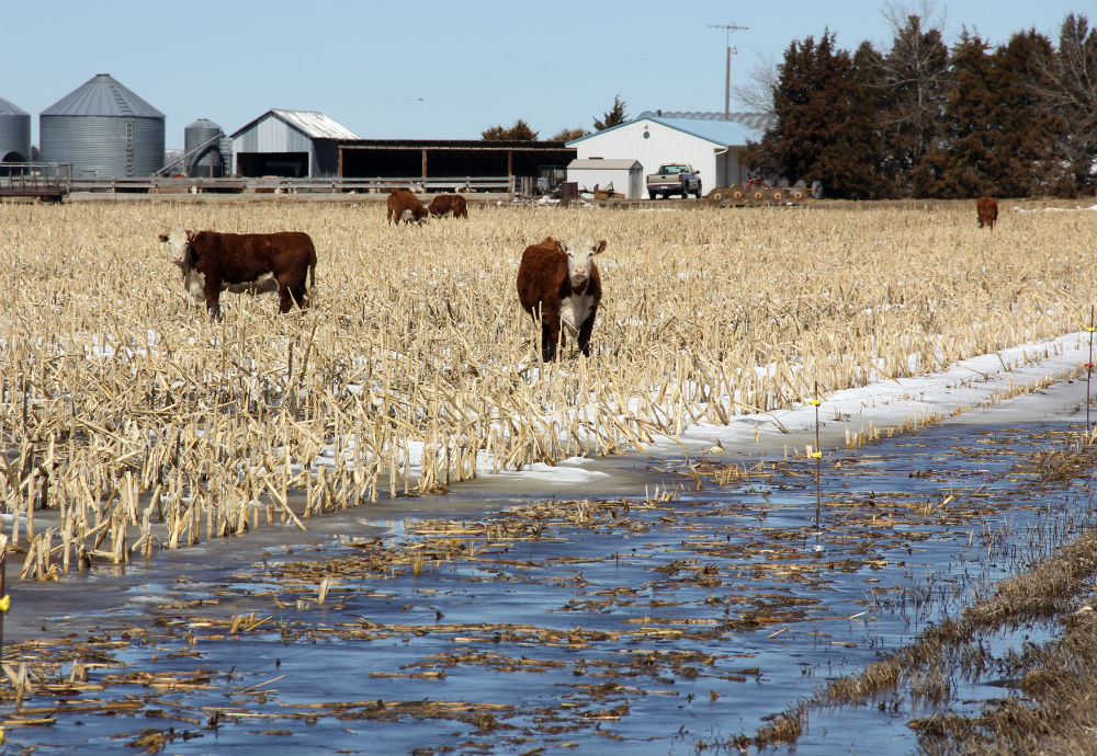 Nebraska Cow-Calf Producers See Losses