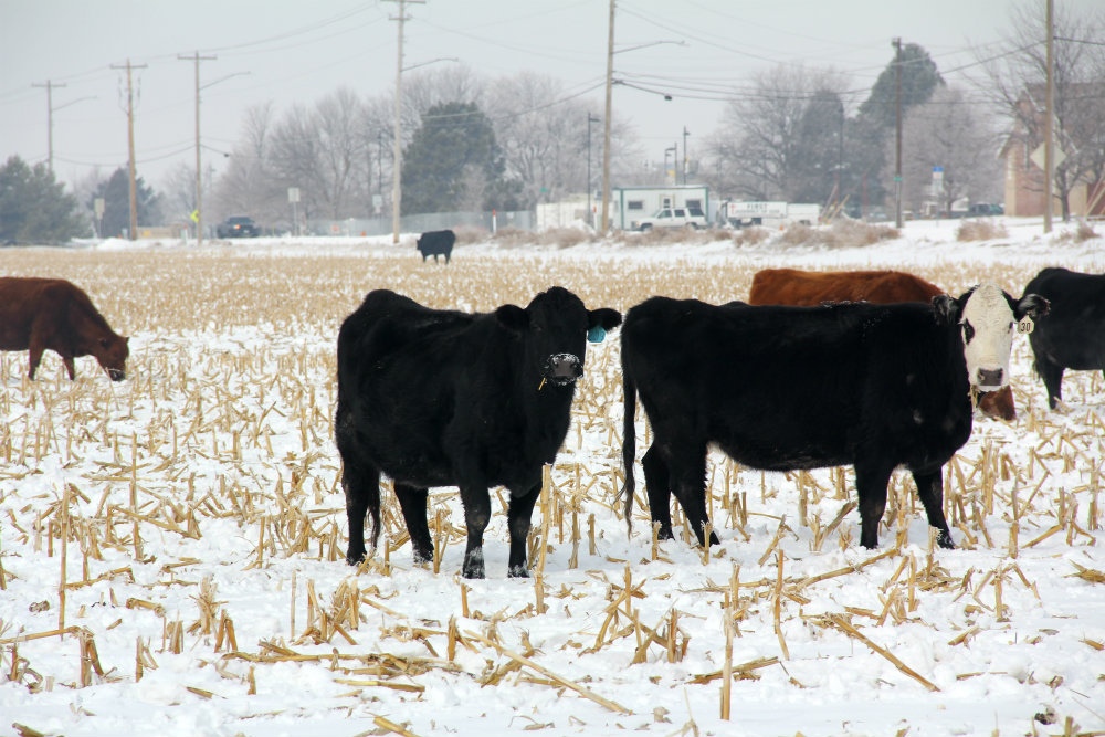 HUSKER RESEARCHERS DEVELOP LIVESTOCK-MONITORING TECHNOLOGY
