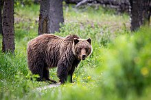 Wildlife officials euthanize calf-killing grizzly in Montana