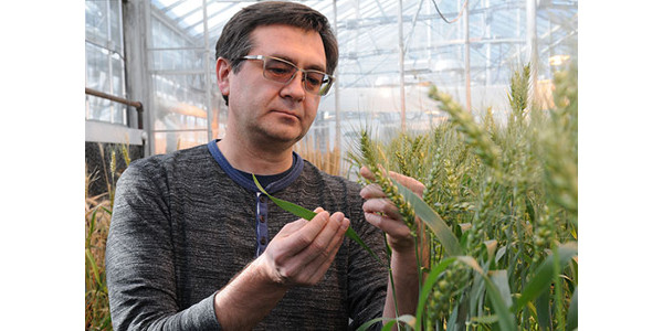 Researchers find new clues for improving wheat