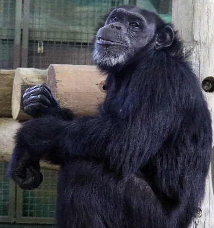 Five new chimpanzees coming to Riverside Discovery Center