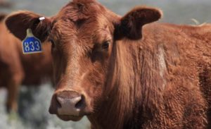 A new era of cattle identification on the horizon