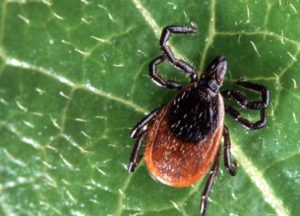 Deer ticks turn up in east Nebraska; can carry Lyme disease