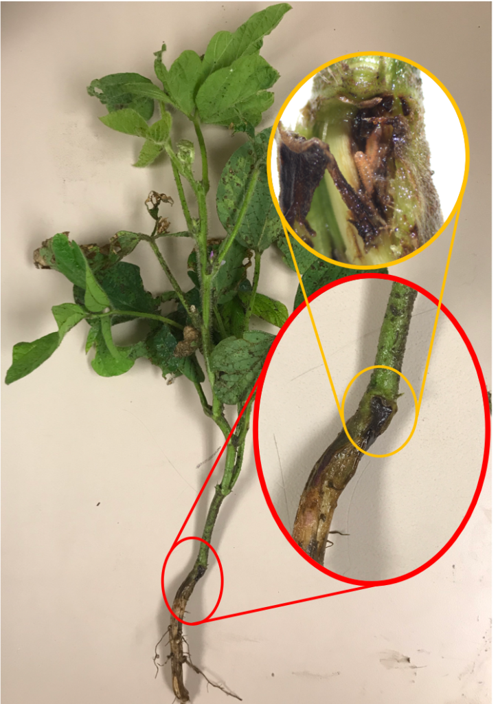Soybean Gall Midge: Management Window Changing for Nebraska Growers