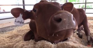 Dairy Cows Come to the Omaha Zoo!
