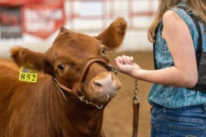 Champions Named in All-American Limousin Futurity
