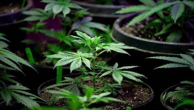 New York legalizes recreational marijuana, expunges former pot convictions