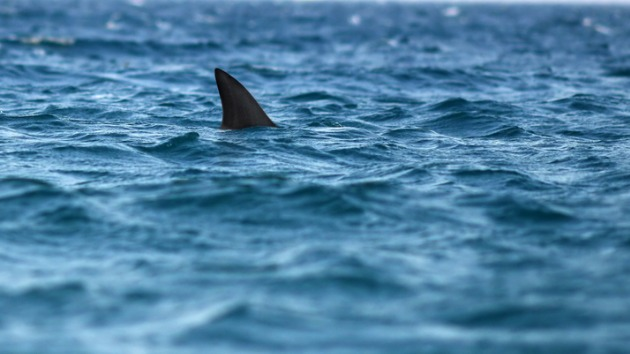 Baby great white shark populations are increasingly moving north on the California coast due to climate change, researchers say