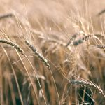 Nebraska Extension offers webinar on winter wheat's economic viability