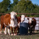 Cattle Chat: Caring for first-calf heifers and calves