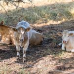 Photosensitization in Light-Colored Cattle