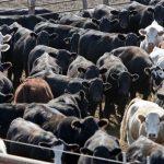 Handling heat stress in cattle