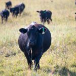 Cattle Chat: Planning for upcoming pregnancies