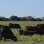 Nebraska Extension provides new cover crop grazing conference Nov. 16