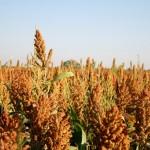 USDA Announces United Sorghum Checkoff Program Board Appointments