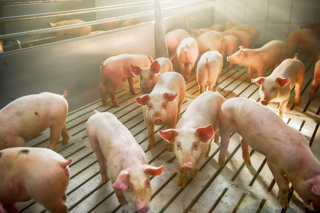 USDA to Provide Pandemic Assistance to Livestock Producers for Animal Losses
