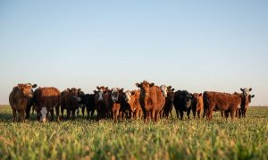 Richards Cattle Company – Looking for Pasture