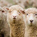 Sheep Genetics Webinar Set for Tuesday