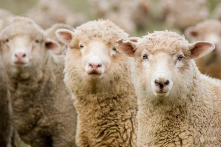 Sheep Genetics Webinar Set for Tuesday