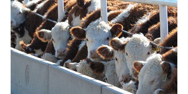 Farm Bureau supports cattle market transparency