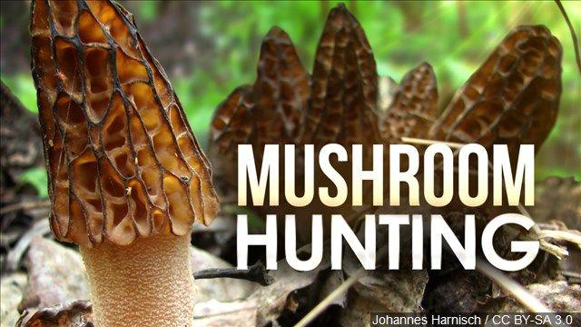 Morel mushroom season has begun in Nebraska