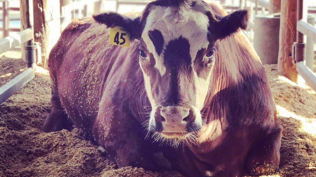 UC Davis Study: Feeding Cattle Seaweed Reduces Emissions By 82%