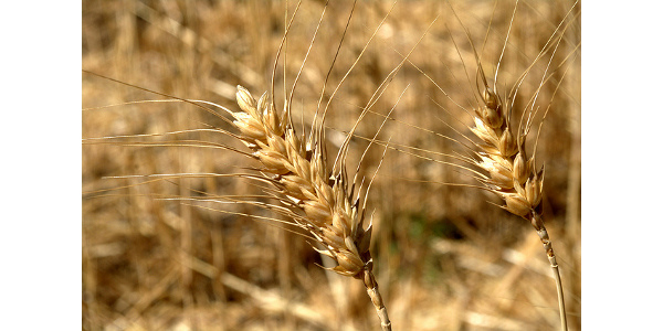 Nebraska Wheat Board announces District 4 Board of Director opening