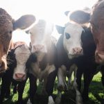 Cattle Call looks at higher cattle prices