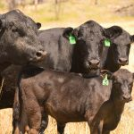 Preparing for cattle transport saves time, money, stress