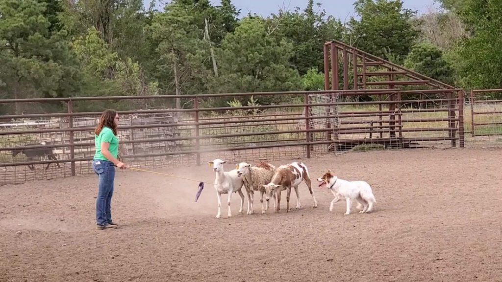 Herding Dog Basics workshop June 25