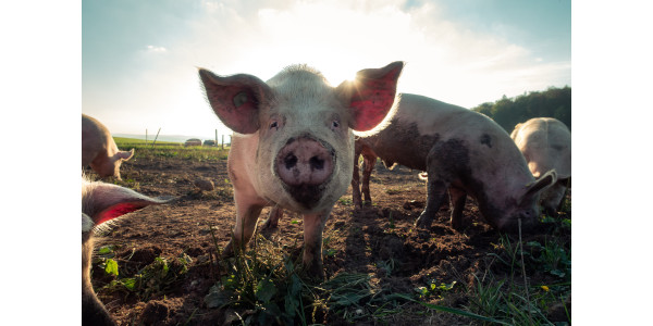 USDA to host educational webinar series for pork industry on LMR