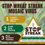 Control volunteer wheat to stop wheat streak mosaic virus; information packets available