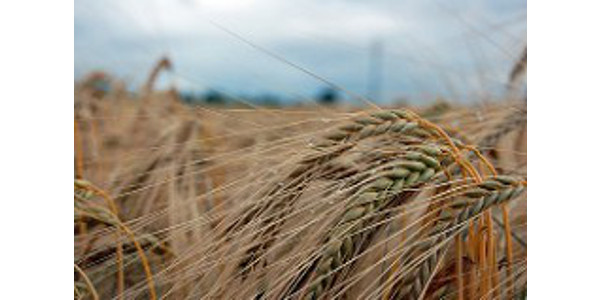 Stocks-to-use ratio, soil moisture are key factors to watch for forecasting 2022 wheat prices