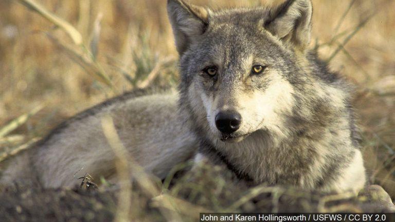Gray Wolf Confirmed in Nebraska per NGPC