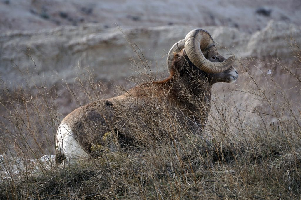 Bighorn Sheep Lottery Applications Begin April 19