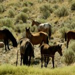 U.S. Agency Stepping Up Safeguards for Wild Horse Adoptions