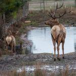 Commission will Consider Free-Earned Landowner Elk Permit Program