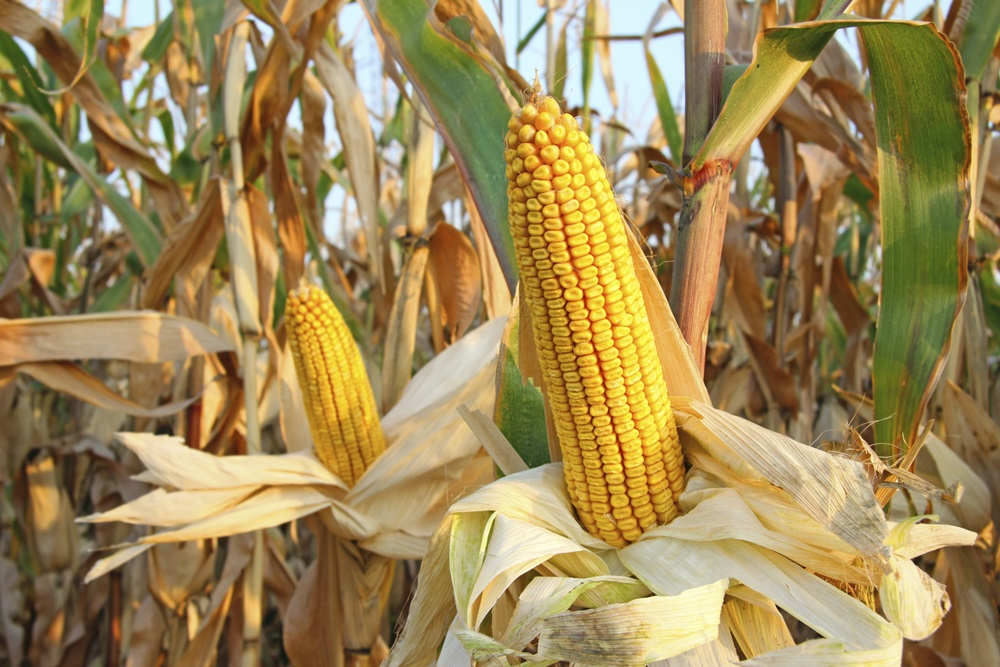 Grains rally, corn sent to limit gains following USDA data drop on Tuesday