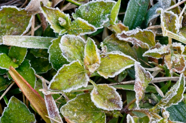 Effects of a freeze on forages