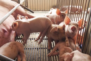 Study Shows Pig Farmers Improving Their Environmental Footprint Through Efficiencies