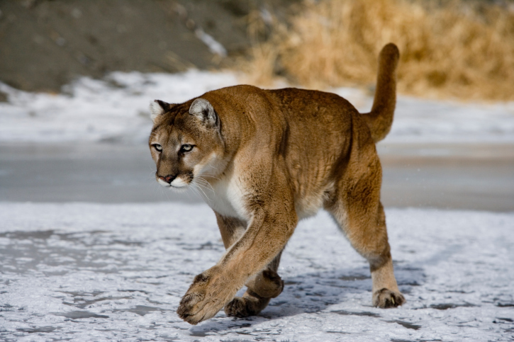 Mountain lion observed on video in Scottsbluff