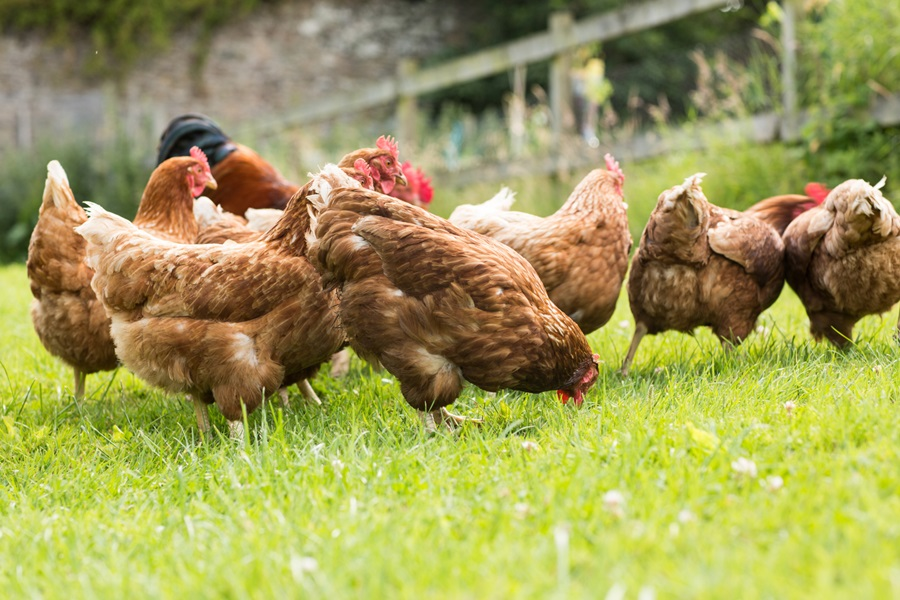 July 15 is the deadline to enter NDA's Annual Poultry Photo Contest